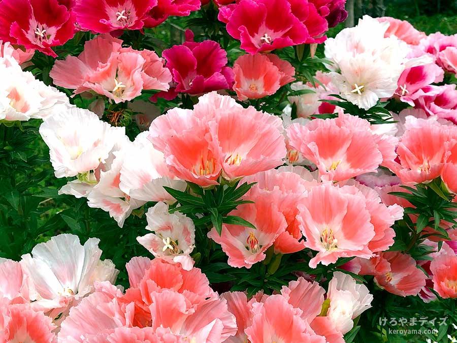 ゴジュユの花